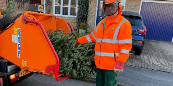 Council worker putting Christmas tree into a chipper