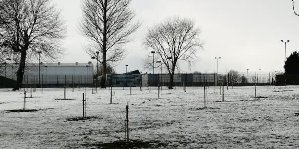 Recently planted saplings in snowy landscape of Sheffield Park, Scunthorpe