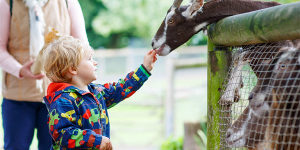 Photograph of a child feeding a goat at an animal farm