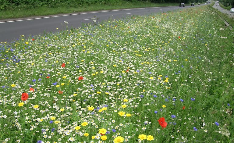 Wildflowers in bloom on central reservation of a18 Mottlash Hill in Scunthorpe