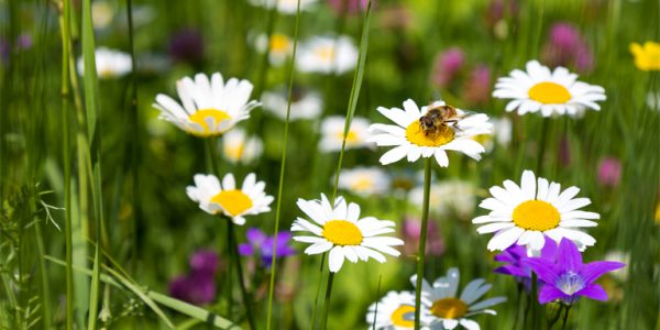 Photograph of a bee on daisy flowers in a meadow